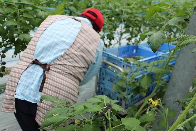 手作り2 倉田ミニトマト農園