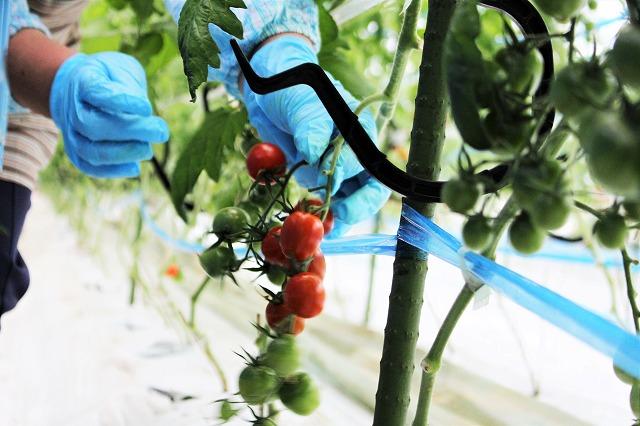 手作り1 倉田ミニトマト農園