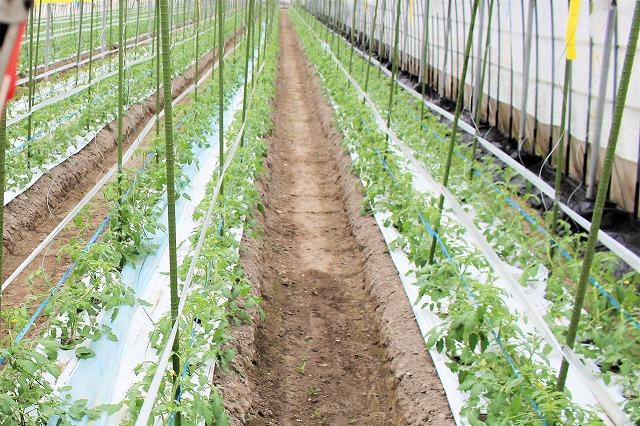 支柱たてる 倉田ミニトマト農園