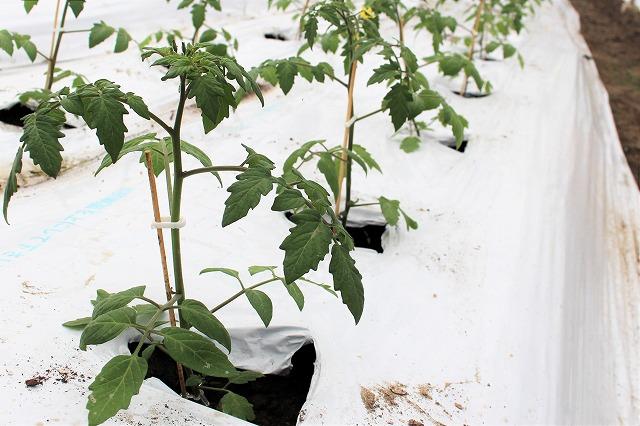 苗植え 倉田ミニトマト農園