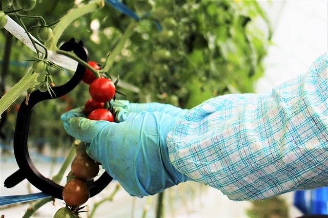 収穫 倉田ミニトマト農園