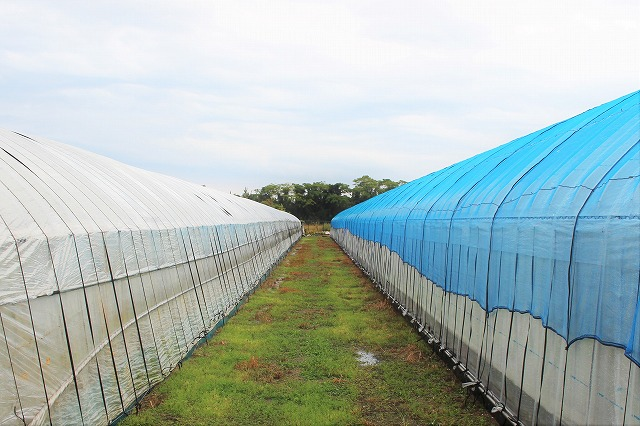 外観 ビニールハウス 倉田ミニトマト農園