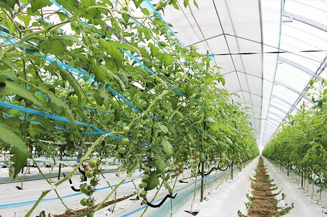 これから育つトマト 倉田ミニトマト農園