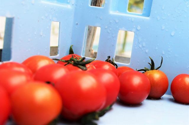 ミニトマト収穫 倉田ミニトマト農園